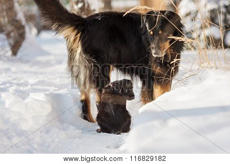 Black and golden hovawart puppy