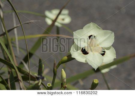 Dietes Bicolor - Iris Flowers