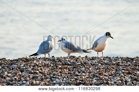 three seagulls on pebble beach with sea