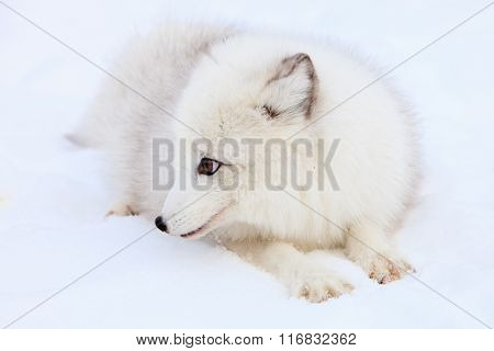 Cute arctic fox laying in snow