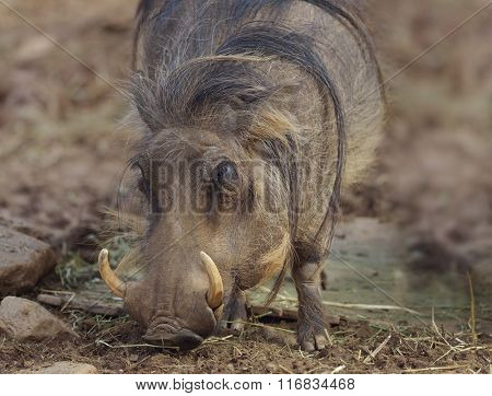 Warthog Grazing,Close Up Shot