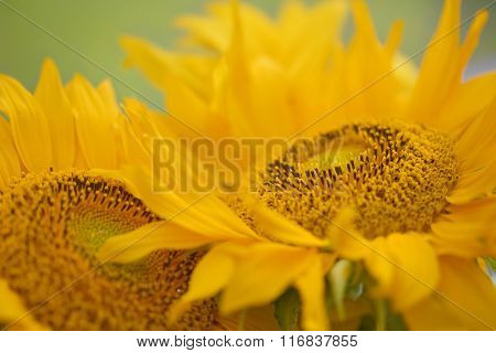 bright sunflower.