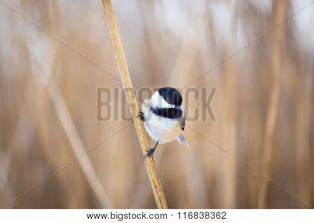 Black Capped Chickerdee.