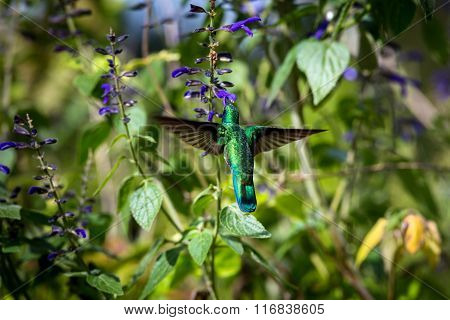 Green Violet Eared Hummingbird.
