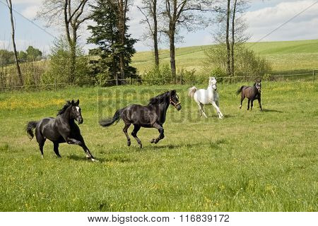 Horses gallop free in paddock
