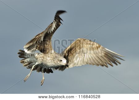 Juvenile Kelp Gull (larus Dominicanus) In Flight