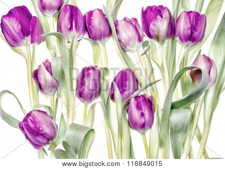 Pink tulip bouquet on white background