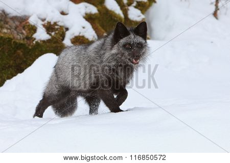 A silver fox hunting for food