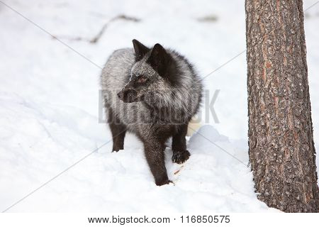Silver fox standing in snow