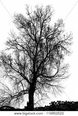 Silhouette Of Bare Tree - Black And White