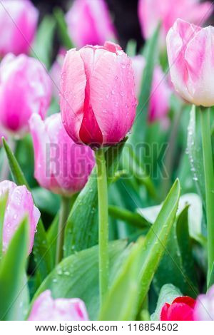 Beautiful Bouquet Of Pink Tulips