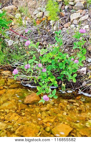 Clover pink on river bank
