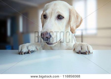 Cute Labrador dog's paws on white table, closeup