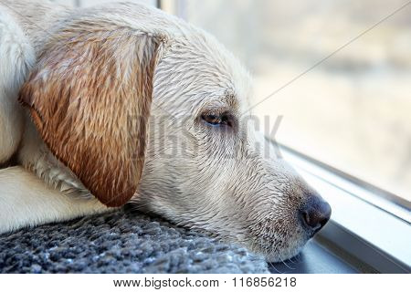 Wet Labrador dog looking out window inside the house