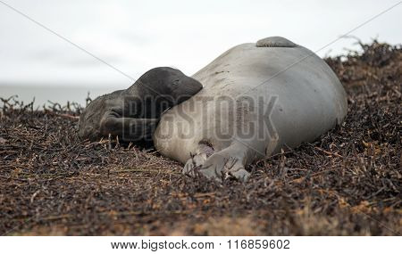 Newborn Elephant Seal Lays Pacific Beach Parent Mammal Mother