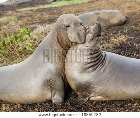 Elephant Seals Wild Mammals Play Wrestling Biting