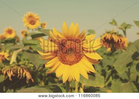 Beautiful sunflower, closeup