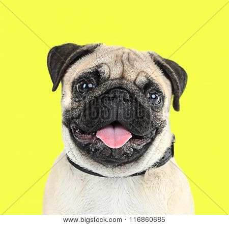 Funny, cute and playful pug dog on yellow background