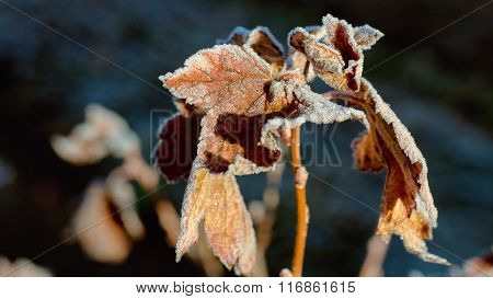 The frozen leaves