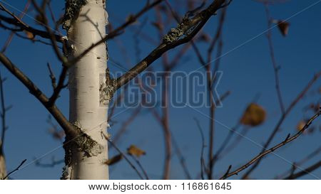 Russian birch against the sky