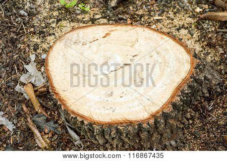 dry stump tree in garden
