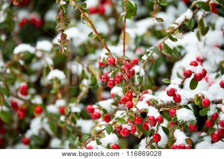 Winter Background With Red Gaultheria And Snow