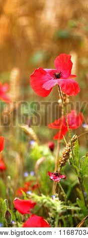 Red Wild Poppies For Remembrance Day - With Text / Copy Space.