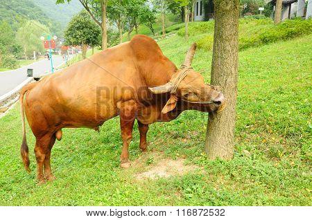 Large Bull