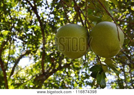 grapefruit on branch in the farm