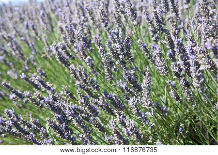 Close-up of lavender