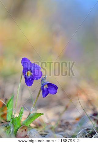 Viola Odorata Flowers Blooming