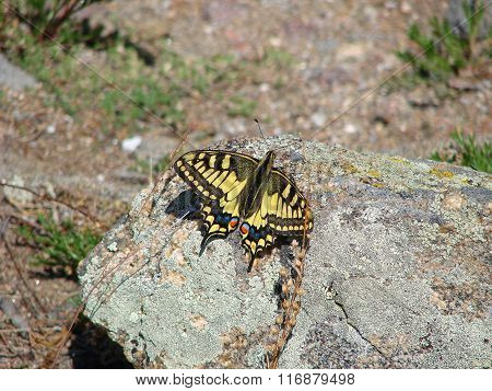Butterfly sits on a stone
