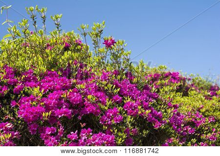 Purple azalea under sky