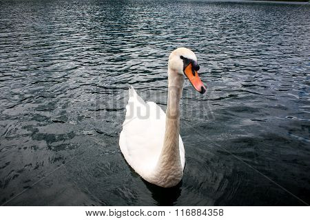 Swan On The Water On Lake