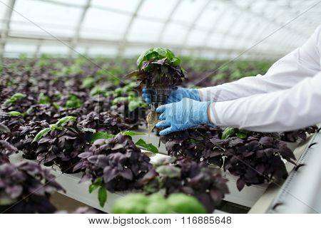 Quality Control. Senior Scientist Or Tech Observes Stselects New Breed Of Basil Optimized For Consum