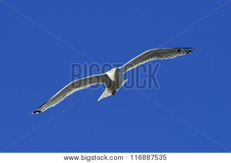 Herring Gull Flies