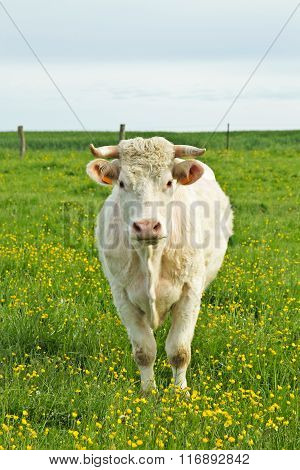 Cow in field