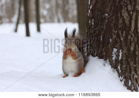 Squirrel with a walnut in winter forest near the tree