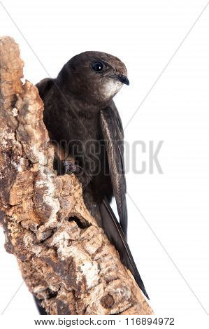 Common Swift on white