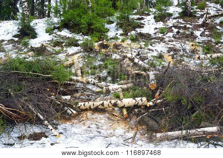 Felled Trees In The Forest.