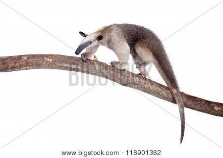 Collared Anteater, Tamandua tetradactyla on white