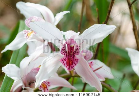 Cymbidium Insigne Orchid