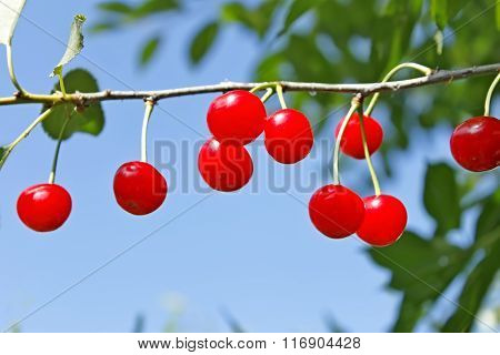 Red Ripe Cherry Fruits On A Twig