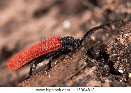 Platycis minutus beetle