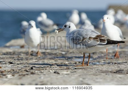 Gull With A Bread