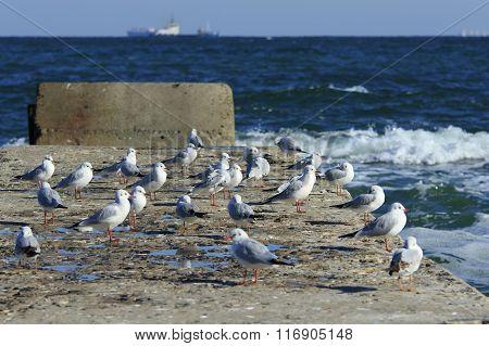 Pier Full Of Gulls