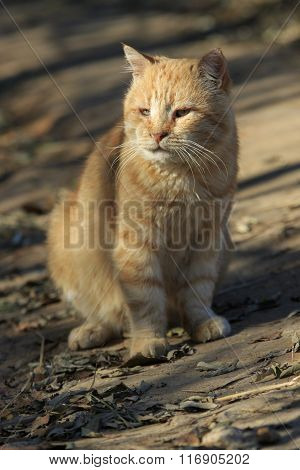 Old Ginger Cat