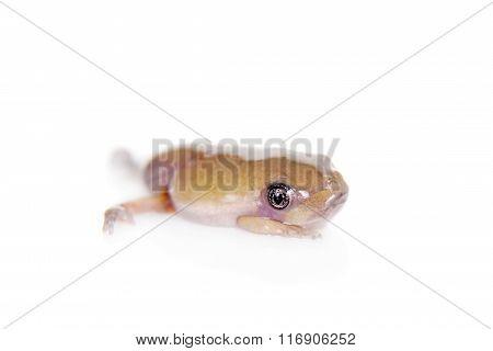 Waxy Monkey Leaf Frog on white background