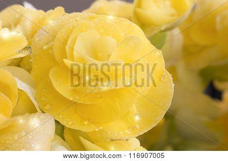 Begonias Yellow Full Bloom.