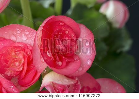 Beautiful Pink Begonia  With Soft Focus Background